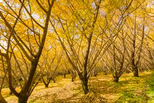 秋の千本銀杏の写真素材 [FYI02673547]