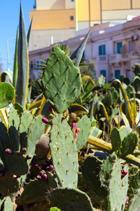マルタ共和国、チャーチストリートのサボテンの写真素材 [FYI02673574]