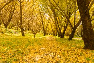 秋の千本銀杏の写真素材 [FYI02673588]