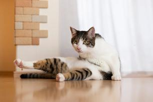 飼い猫の写真素材 [FYI02673591]