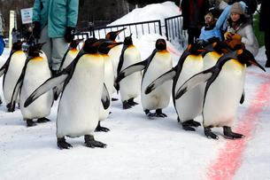 2月 ペンギンパレード -北海道の冬-の写真素材 [FYI02673598]