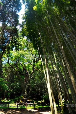 武雄の大楠と竹林の写真素材 [FYI02673649]