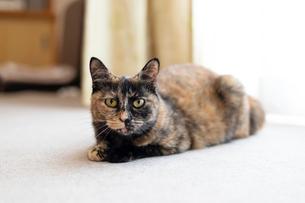 飼い猫の写真素材 [FYI02673678]