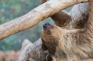 木に捕まるナマケモノ(フタユビナマケモノ)の写真素材 [FYI02673713]