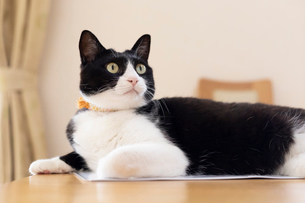 飼い猫の写真素材 [FYI02673732]