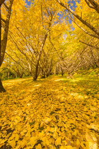 秋の千本銀杏の写真素材 [FYI02673750]