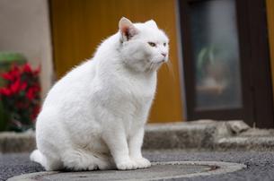 マンホールの蓋の上に座るオッドアイの白猫の写真素材 [FYI02673817]