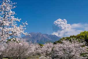 桜と桜島の写真素材 [FYI02673859]