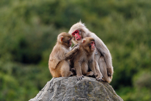 11月 小豆島のお猿の国の写真素材 [FYI02673868]