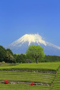 富士山と茶畑の写真素材 [FYI02674037]