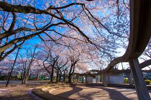 三原台公園 桜の写真素材 [FYI02674229]