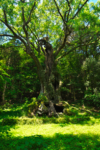 武雄の大楠の写真素材 [FYI02674359]