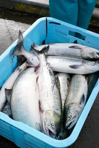 水揚げされた鮭を計量している写真の写真素材 [FYI02674444]