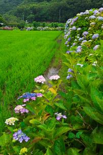 あわじ花山水 あじさい園の写真素材 [FYI02674452]