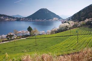 藺牟田池と茶畑と桜と飯盛山の写真素材 [FYI02674465]