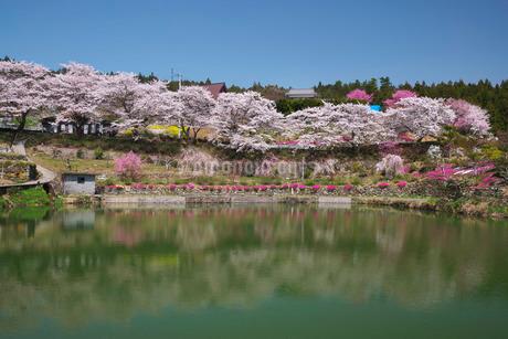 尾首の池の桜の写真素材 [FYI02674483]