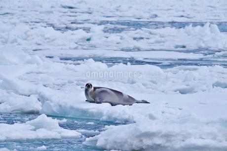 流氷とクラカケアザラシの写真素材 [FYI02674531]