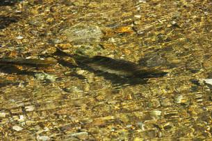 ペレケ川のサケの遡上の写真素材 [FYI02674578]