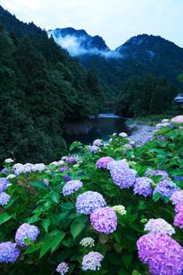 板取川とアジサイの朝の写真素材 [FYI02674638]