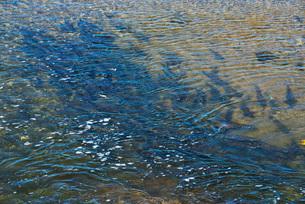 遠音別川とサケ・マスの遡上の写真素材 [FYI02674685]