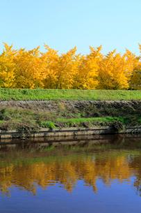 日光川と黄葉した祖父江町の銀杏の写真素材 [FYI02674715]