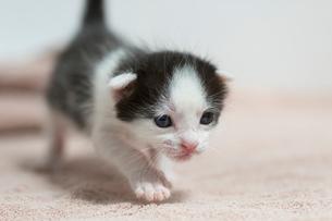 生後2週間の子猫の写真素材 [FYI02674988]
