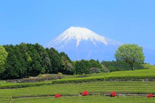 富士山と茶畑の写真素材 [FYI02675056]