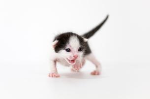 生後2週間の子猫の写真素材 [FYI02675066]