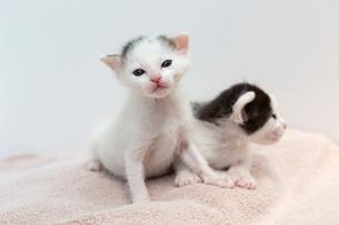 生後2週間の子猫の写真素材 [FYI02675068]