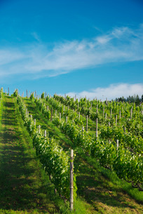 ふらのワイン工場のぶどう畑の写真素材 [FYI02675077]