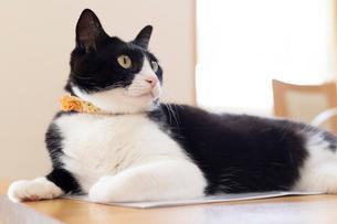 飼い猫の写真素材 [FYI02675118]