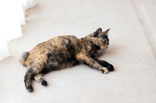 飼い猫の写真素材 [FYI02675160]