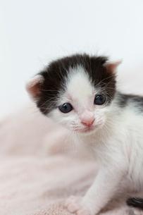 生後2週間の子猫の写真素材 [FYI02675222]