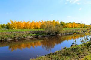 日光川と黄葉した祖父江町の銀杏の写真素材 [FYI02675224]