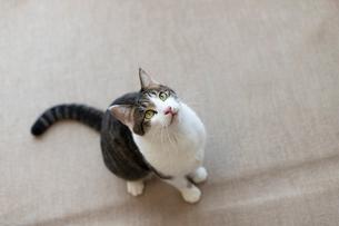 飼い猫の写真素材 [FYI02675303]