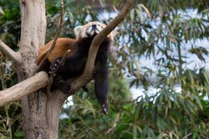だらけるレッサーパンダの写真素材 [FYI02675333]