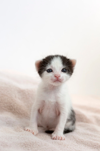 生後2週間の子猫の写真素材 [FYI02675403]