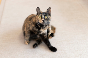 飼い猫の写真素材 [FYI02675472]