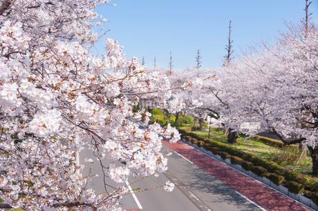 国立市の大学通りの桜並木の写真素材 [FYI02675494]