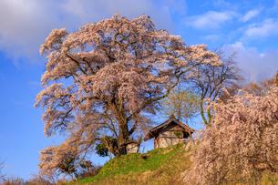 天神夫婦桜の写真素材 [FYI02675531]