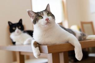 飼い猫の写真素材 [FYI02675537]