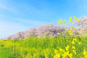 木曽長良背割提のサクラ並木とナノハナの写真素材 [FYI02675591]