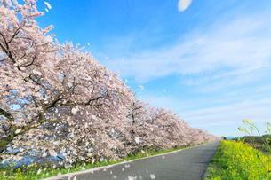 木曽長良背割提のサクラ並木に花吹雪とナノハナの写真素材 [FYI02675627]