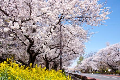 国立市の大学通りの桜並木の写真素材 [FYI02675641]
