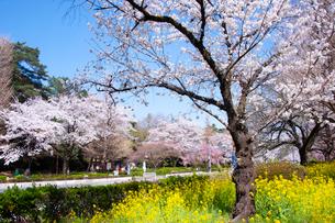 国立市の大学通りの桜並木の写真素材 [FYI02675659]