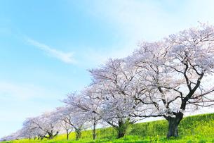 木曽長良背割提のサクラ並木とナノハナの写真素材 [FYI02675691]