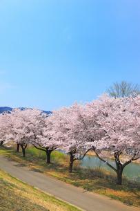 長峰・針湖池のサクラと道の写真素材 [FYI02675695]