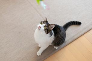 飼い猫の写真素材 [FYI02675804]