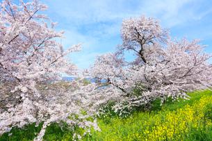 木曽長良背割提のサクラ並木とナノハナの写真素材 [FYI02675825]