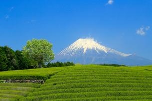 富士山と茶畑の写真素材 [FYI02675863]